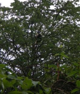 Red panda climbing