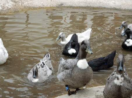 Ducks knowit's feeding time!