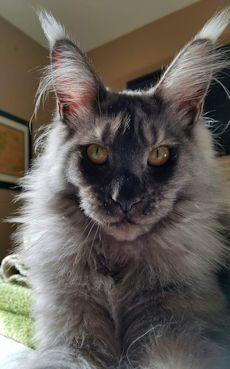 Maine Coon Kittens For Sale Tn : maine, kittens, Maine, Kittens