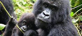 1-day-rwanda-gorilla