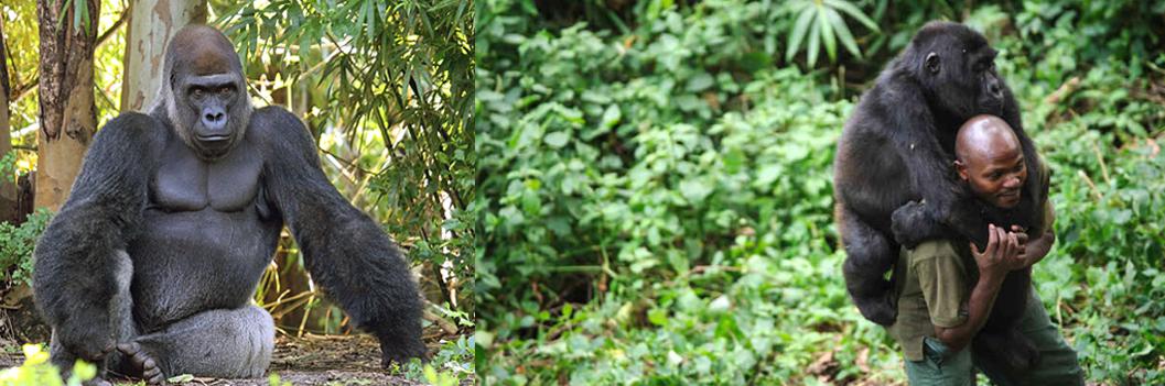 congo-gorilla-trekking