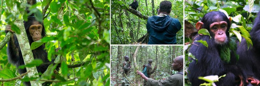 kibale-chimp-trekking