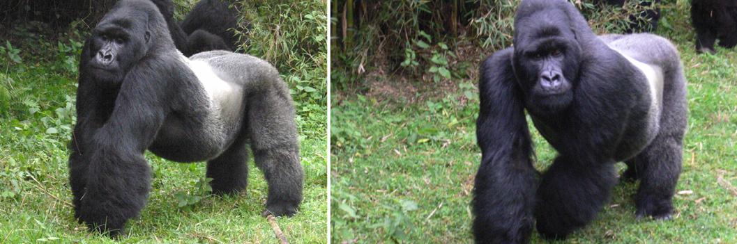 silverback-gorilla-in-mgahinga