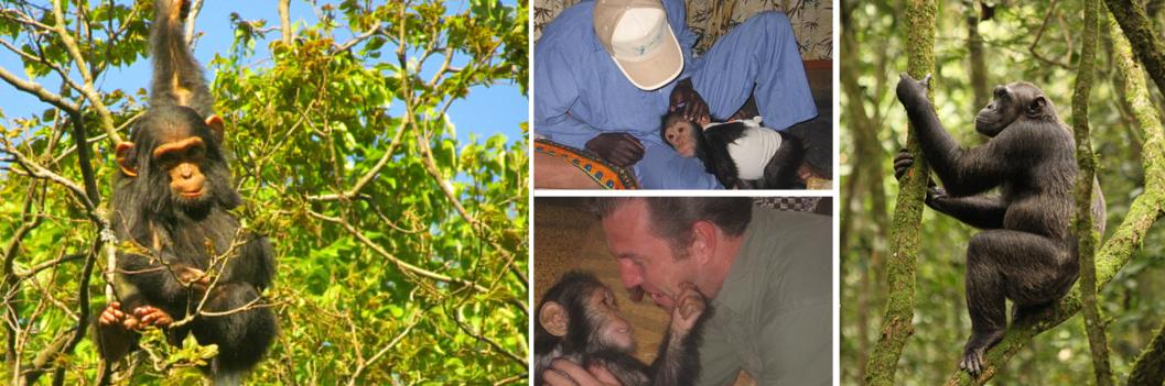 tongo-chimps-congo