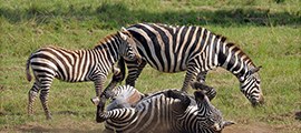 wildgame-viewing-uganda-safaris