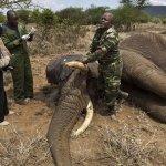 braconnage-elephant