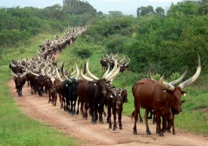 RDC/Kwilu: plus de 1.000 vaches déjà décimées par une épidémie inconnue