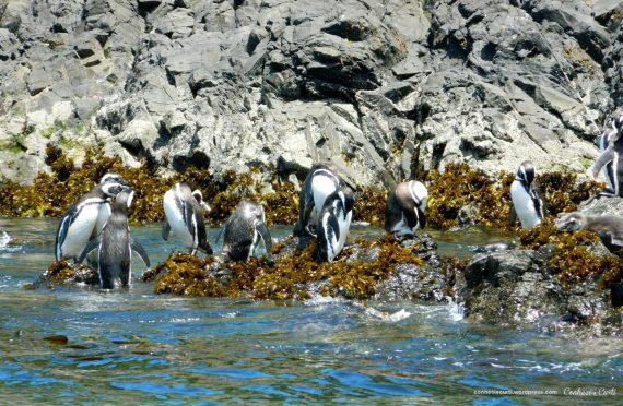 As pinguineras de Chiloé