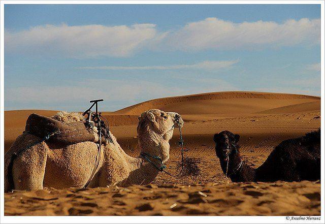 Camellos Desierto Merzouga - Marruecos