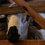 Oveja de la feria ovina de Malhadas - Portugal