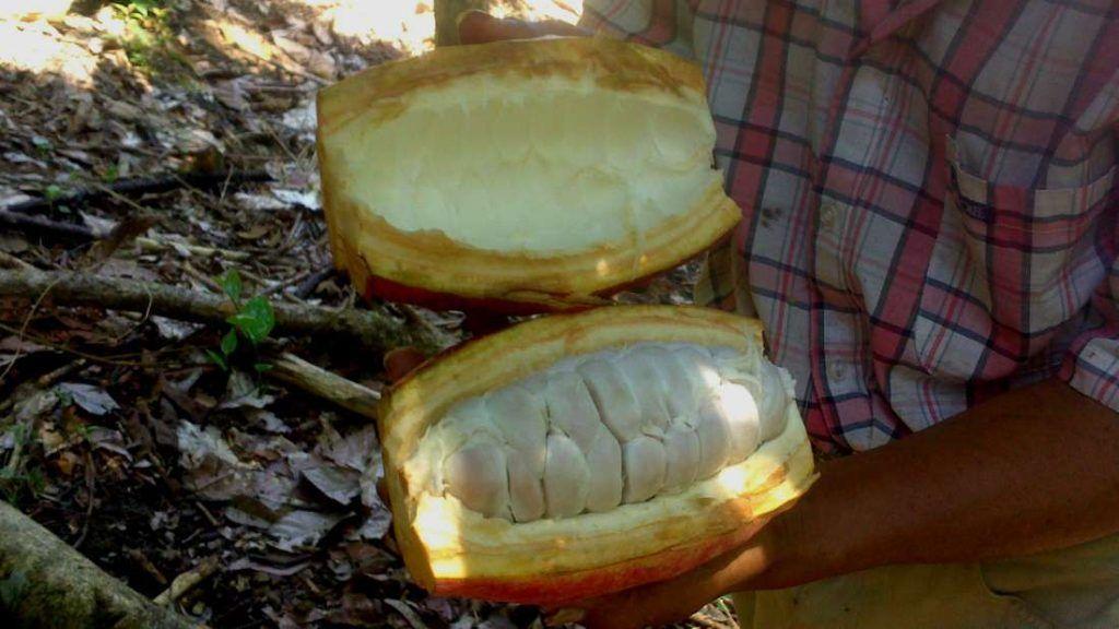 Fruto del cacao - Guatemala