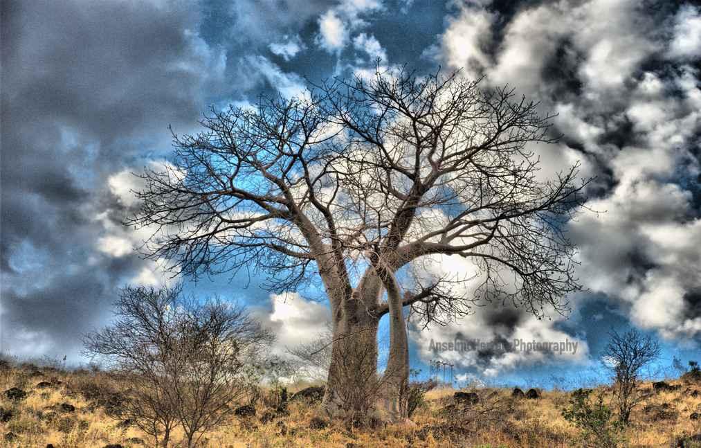 Baobab en el P.N. Manyara - Tanzania