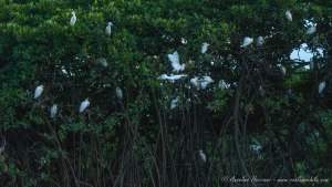 Aves en el Delta del Saloum - Toubakouta - Senegal