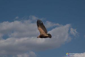 Buitre leonado volando alrededor del castillo de Calatañazor - Soria