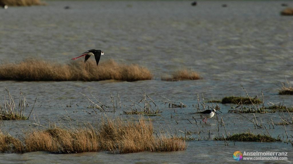 Cigüeñuela común - Humedal de Laguna Rodrigo - Segovia