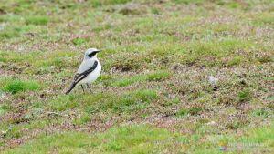 Collalba Gris - Observación de Aves en Laguna Rodrigo - Segovia