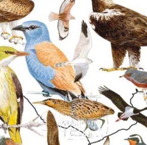 Guía de aves de España gratis, en pdf, y totalmente legal.