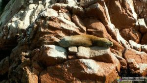 Lobo marino - Ilhes Ballestas - Ica - Perú