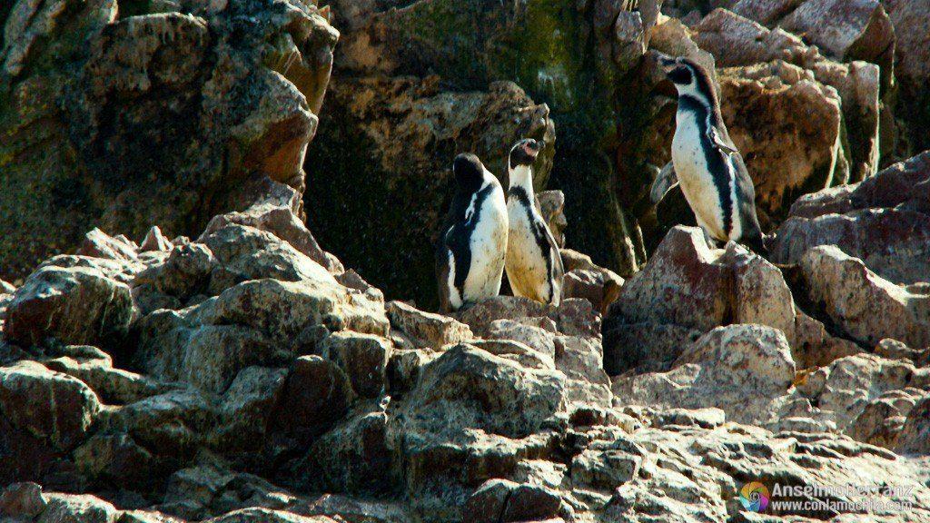 Pingüinos de Humboldt - Islas Ballestas - Ica - Perú