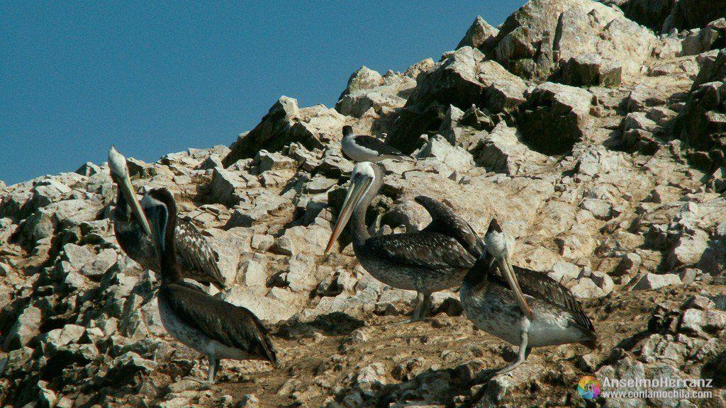 Pelícanos en Islas Ballestas - Ica - Perú