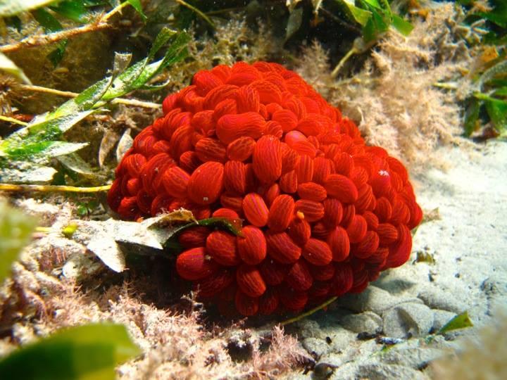Wandering sea anemone. Image: Cathy Cavallo
