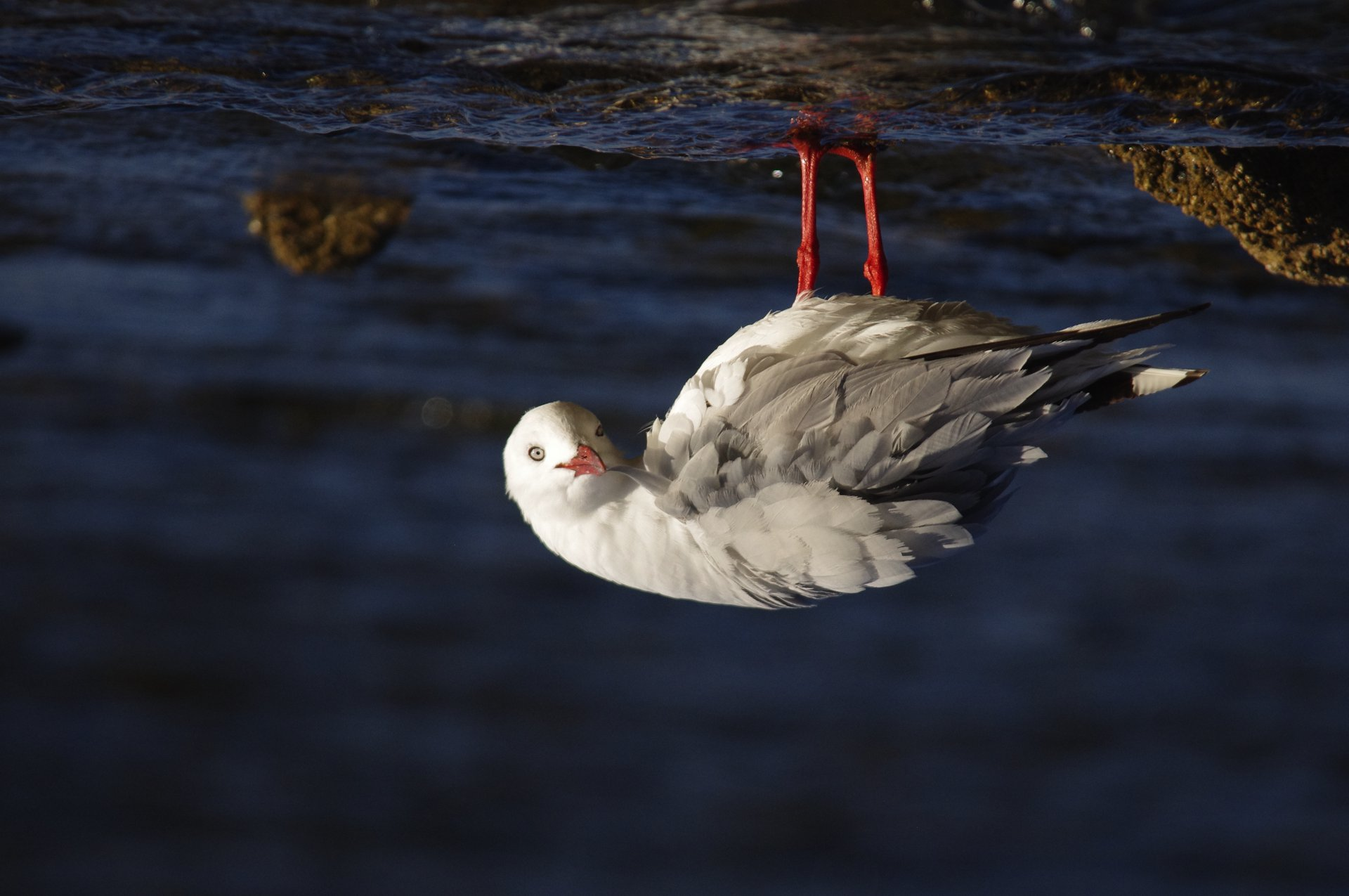 When is a seagull not a seagull? – Connected to Port Phillip