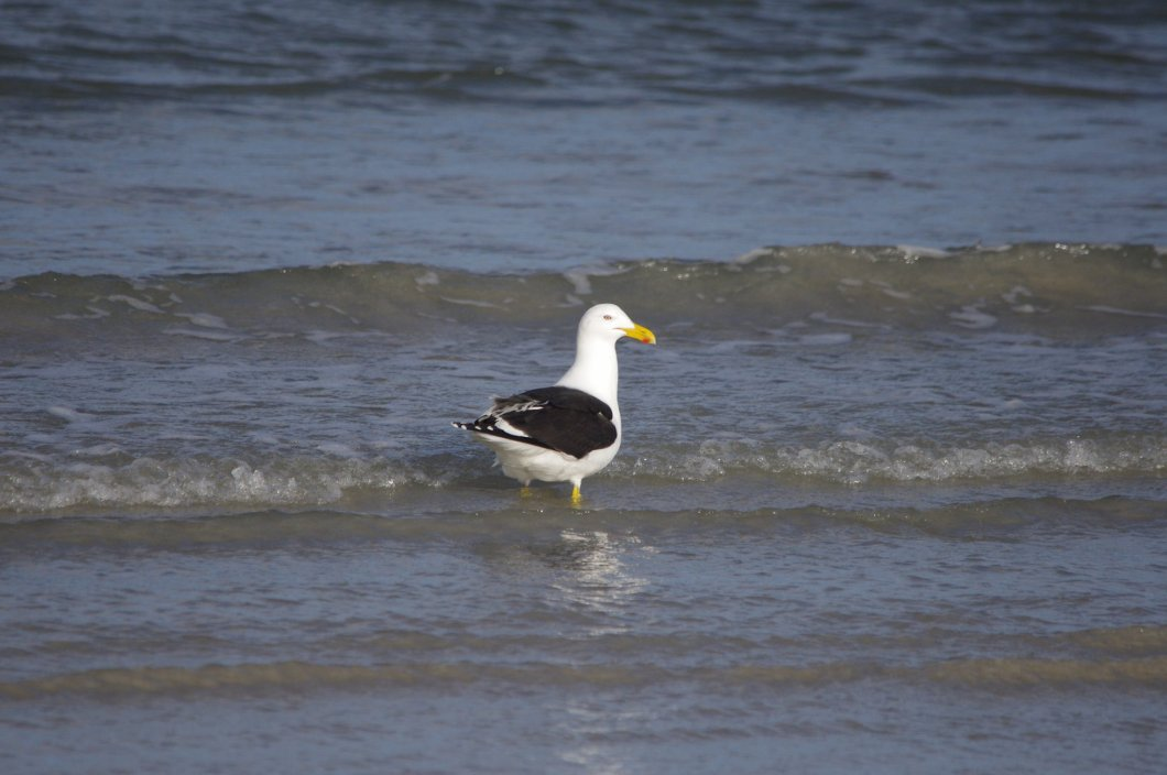CCavallo_kelp gull_port fairy_IMGP6532