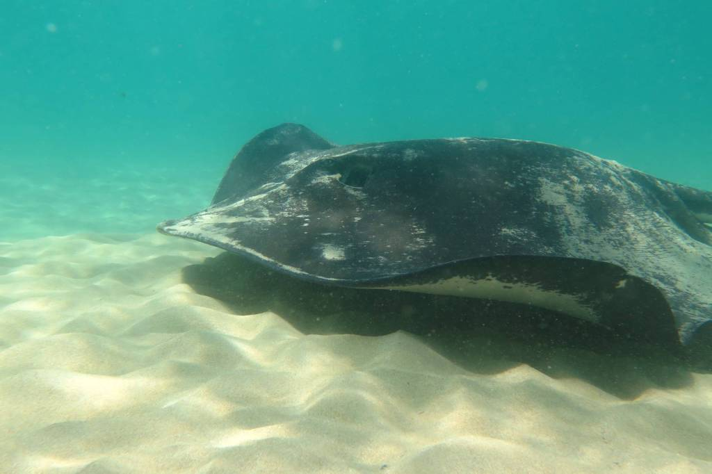 ray, Blairgowrie, Port Phillip, snorkel