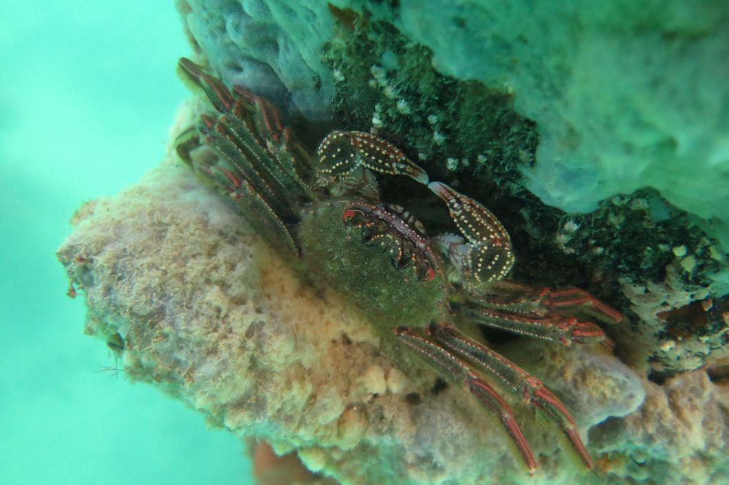 red rock crab Blairgowire, Port Phillip, snorkel
