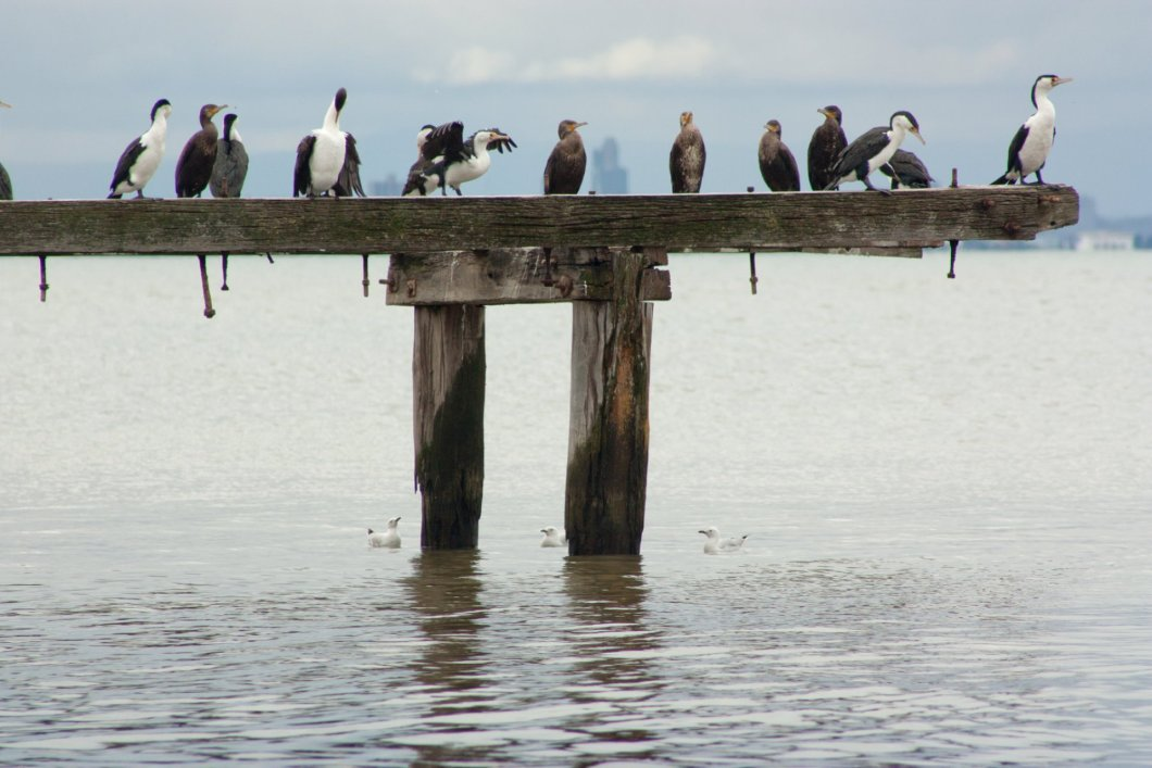Cormorants,_Point_Cook,_Victoria,_Australia