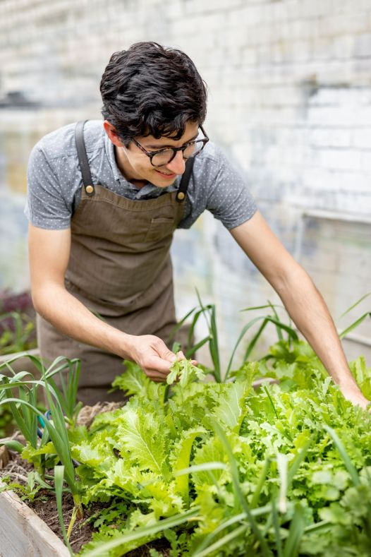 A staff member picking lettuce from the kitchen garden