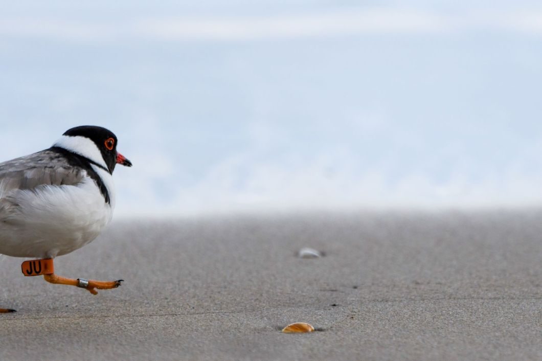 Male JU hopping along the beach. Image: Carole Poustie