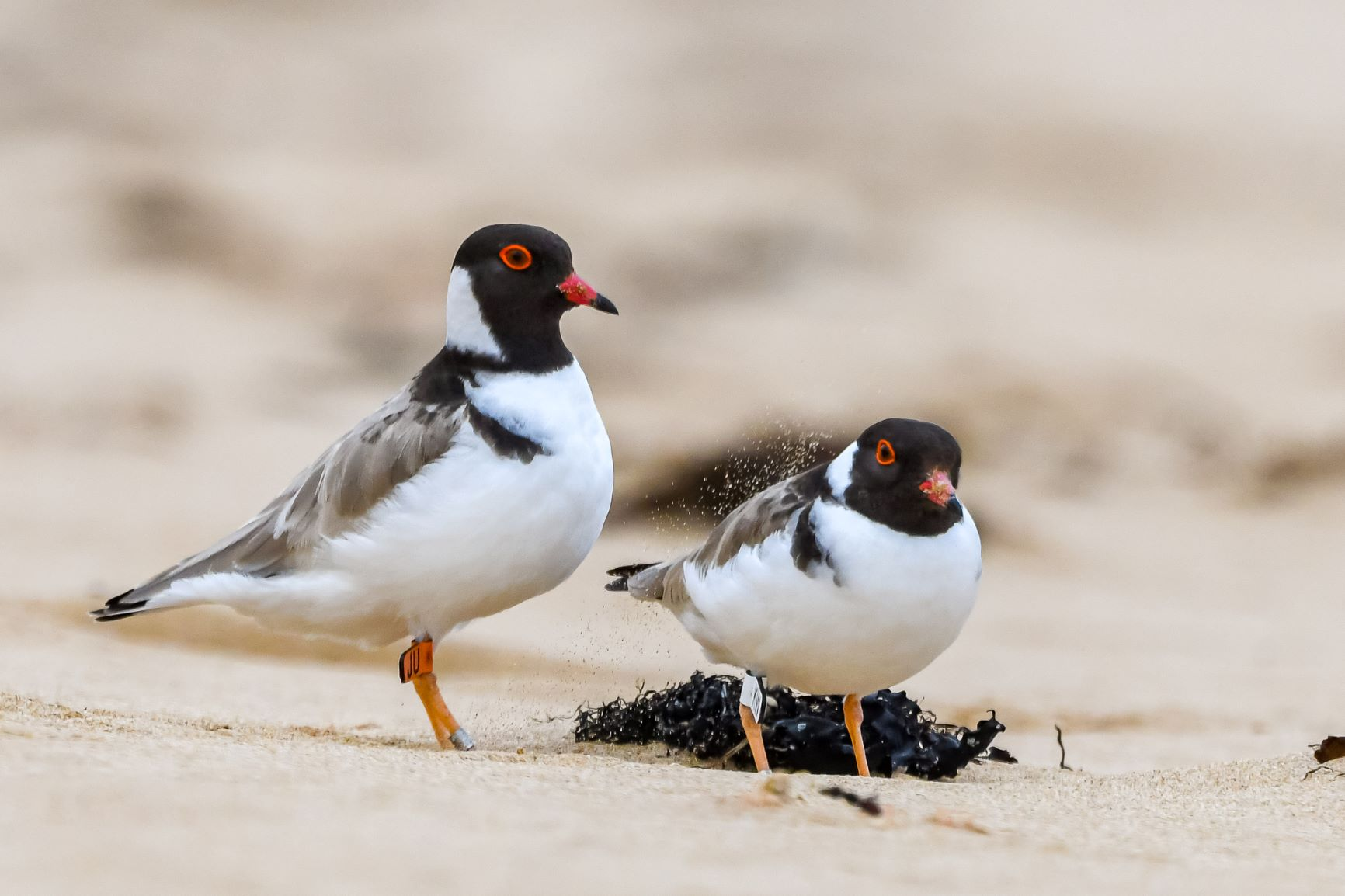 The hooded plover pair JU and KW hanging out together on the beach