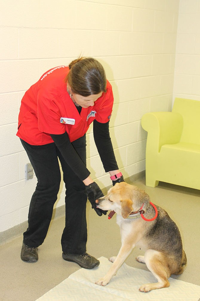 AWLA behaviorist Jennie Lane conducts a behavioral exam on shelter dog Wynonna. Lane responds to questions on pets from Alexandrians who call the shelter's help line.
