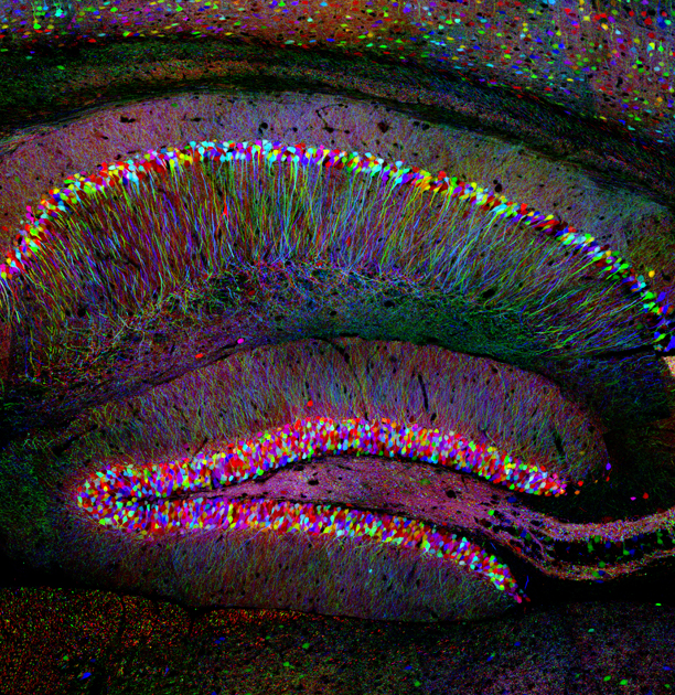 Hippocampus  Connectome How the Brains Wiring Makes Us