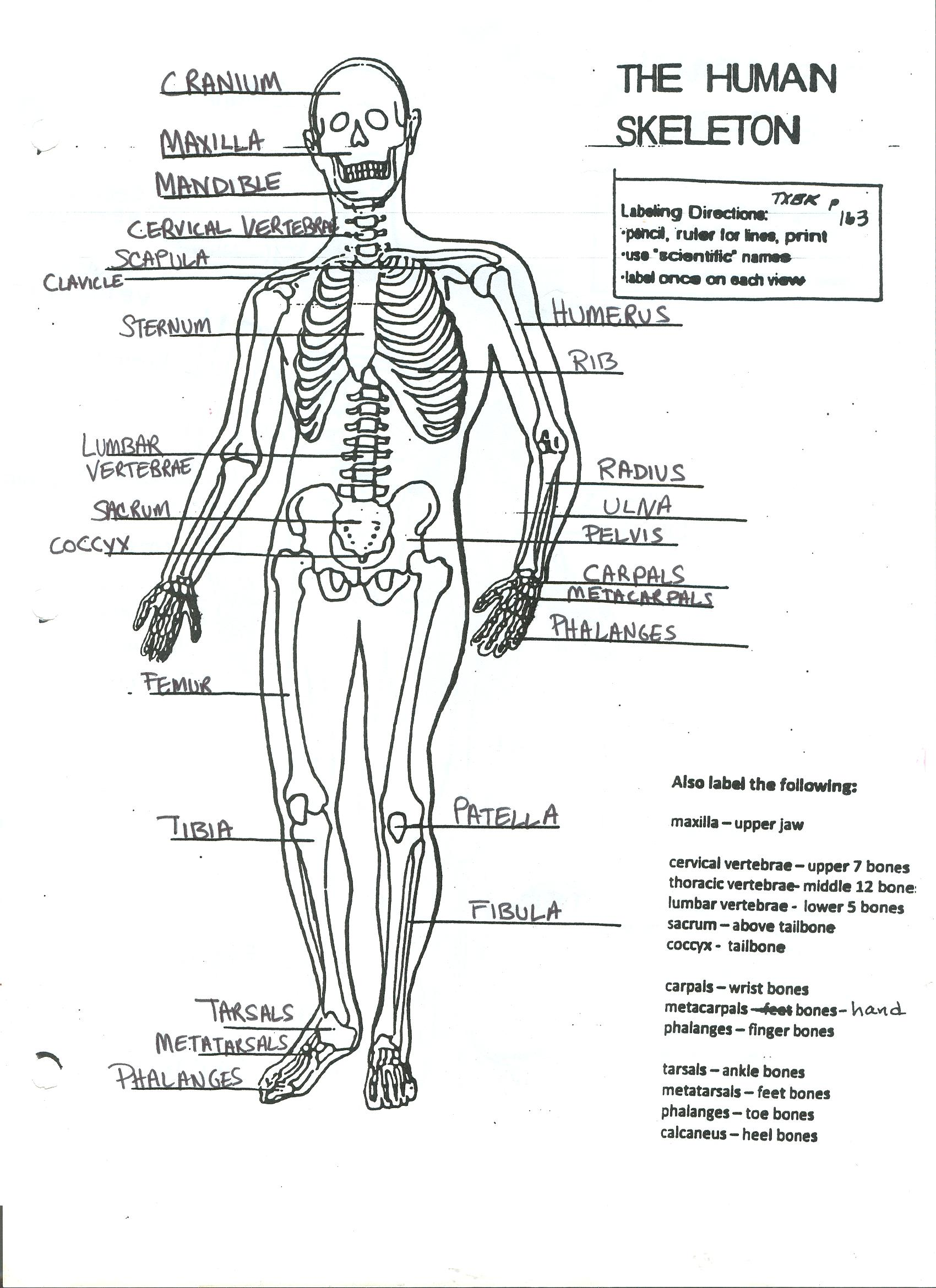 Skin Integumentary System Coloring Worksheet