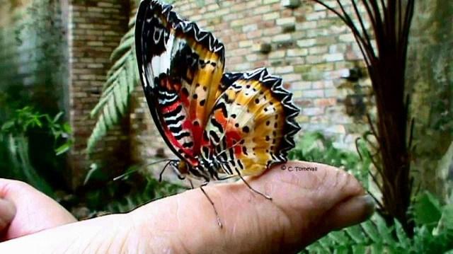 Småkryp fjäril på finger