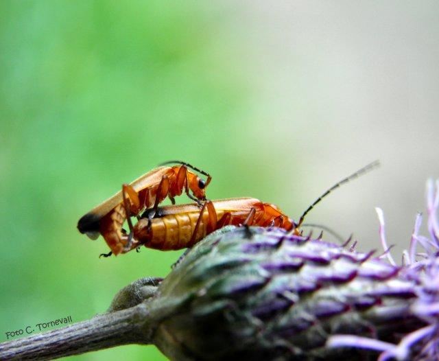 Småkryp skalbaggar som parar sig