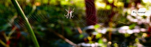 Småkryp spindel i skog  denna