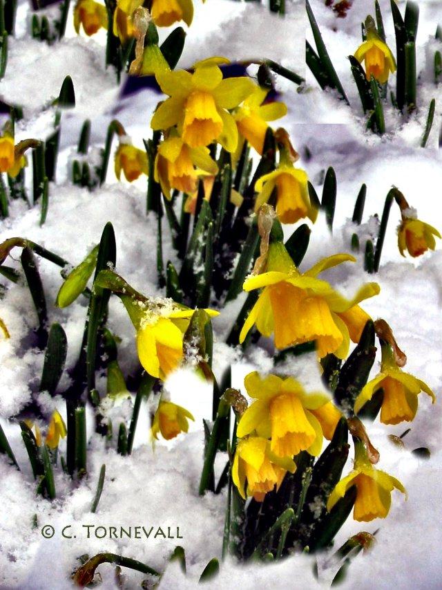 Rimfrost Snö Påskliljor