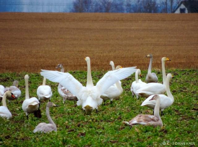 05 Fåglar Svanar Mellan Ängelholm och Klippan 04 A