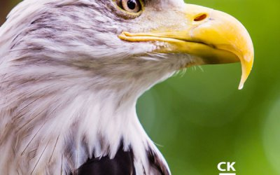 The American Eagle