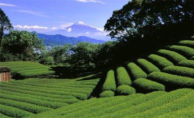Cultivo de té en Shizuoka