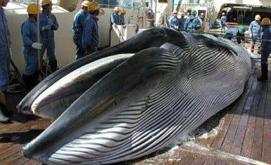 Cacería de ballenas en Japón 2