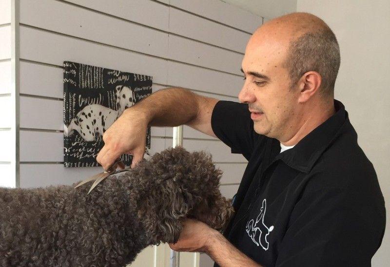 Alex Moll, peluquero canino, cortando a tijera un perro de agua