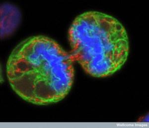 B0003294 Human melanoma cell dividing