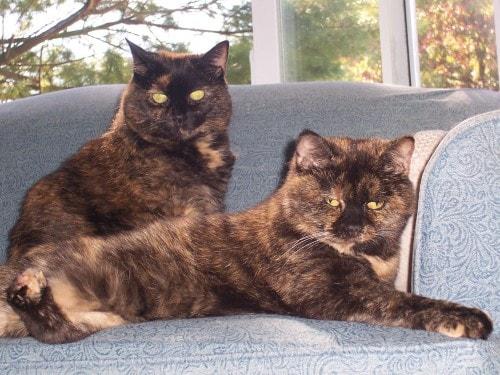 tortitude tortoiseshell cat personality