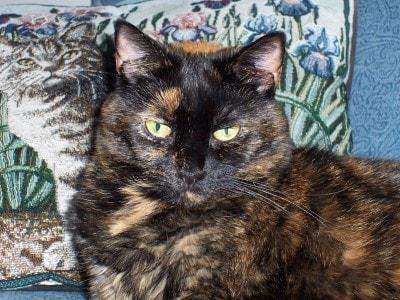 Резултат со слика за Tortoiseshell Cats
