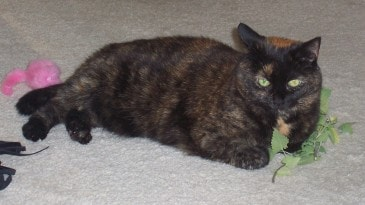 Amber catnip large