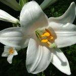 Easter lilies are deadly to cats